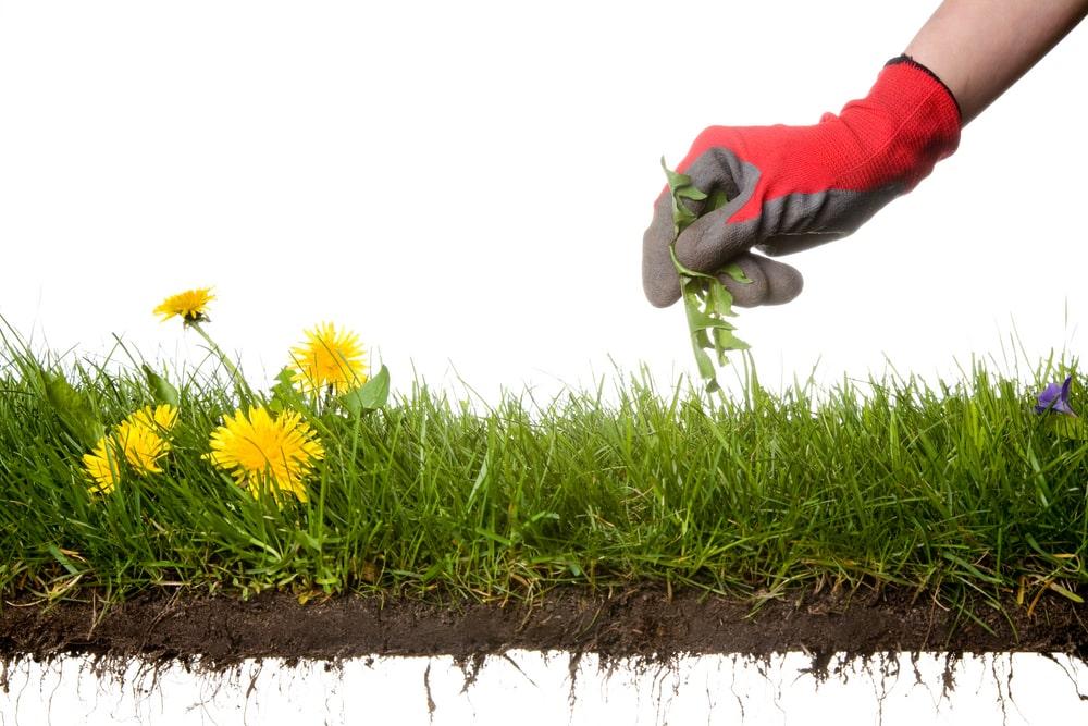Weedol / Verdone Selective Weed Killer – Kills weeds not lawns.