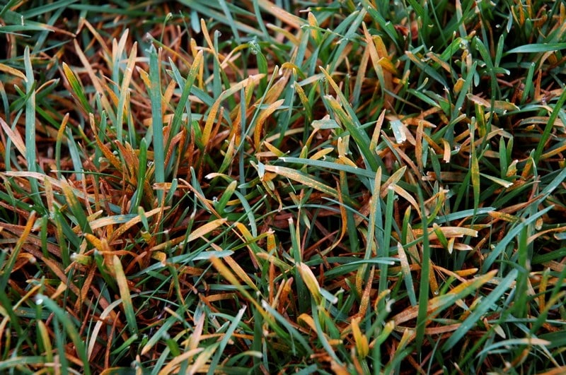 Controlling Rust Disease on your Lawn