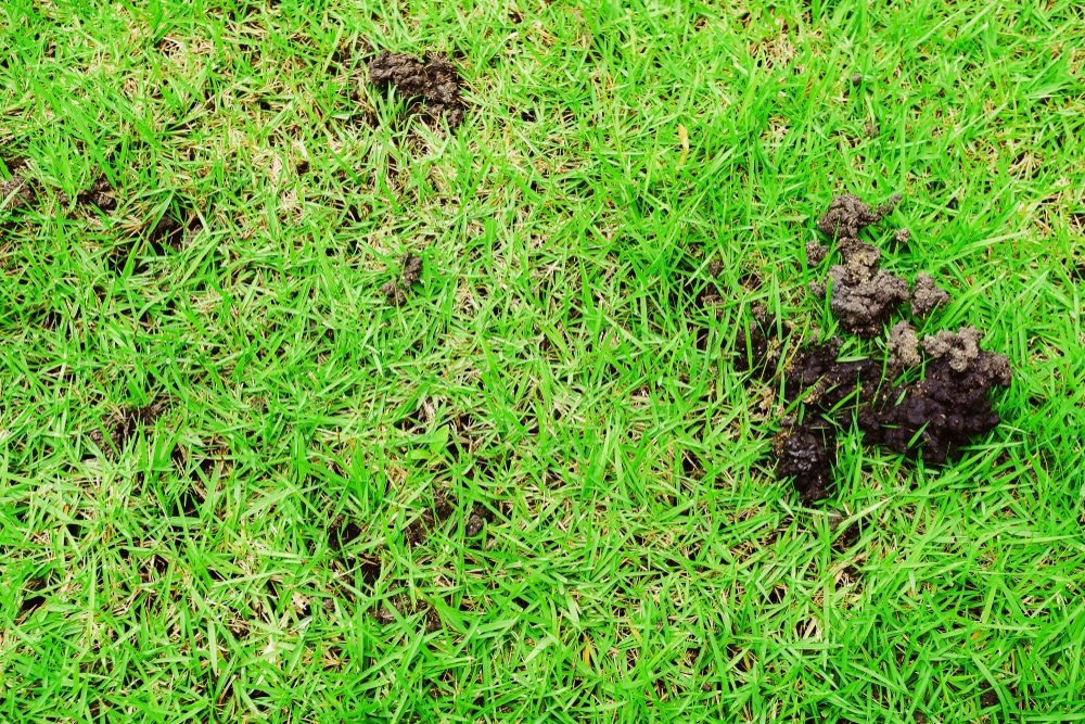 Earthworm Infestation in Lawn